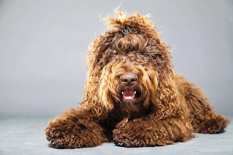 巴貝犬留著長而濃密的卷毛。
