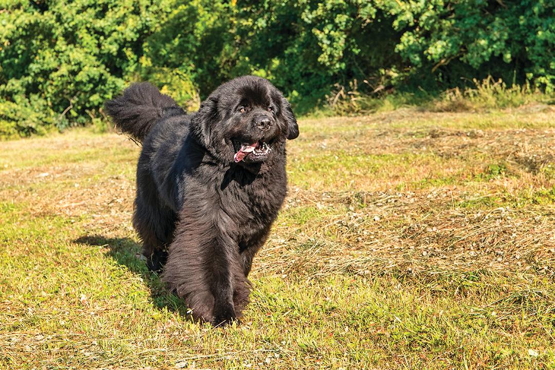 溫柔的紐芬蘭犬,巨大的身形好像一隻小熊。
