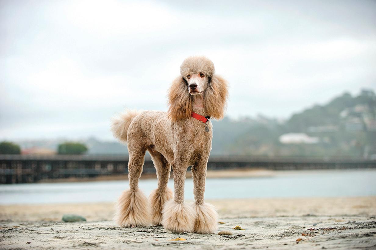 美麗優雅的貴賓犬也是游泳好手。