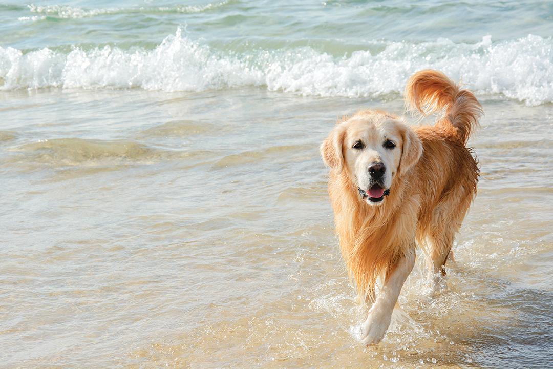 黃金獵犬喜歡在水中盡情玩樂。