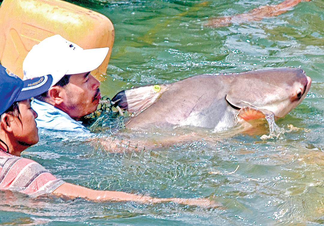 湄公河擁有很多高經濟價值的魚類。圖為2005年,柬埔寨人在放生一條湄公河巨鯰。(AFP)