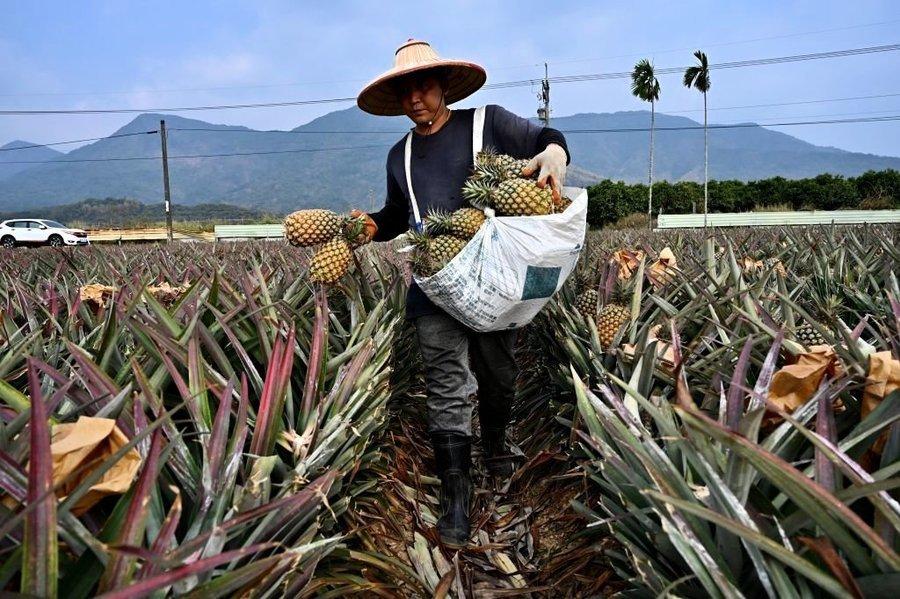 台灣鳳梨銷量香港暴增逾百倍 獲安倍晉三大讚好吃