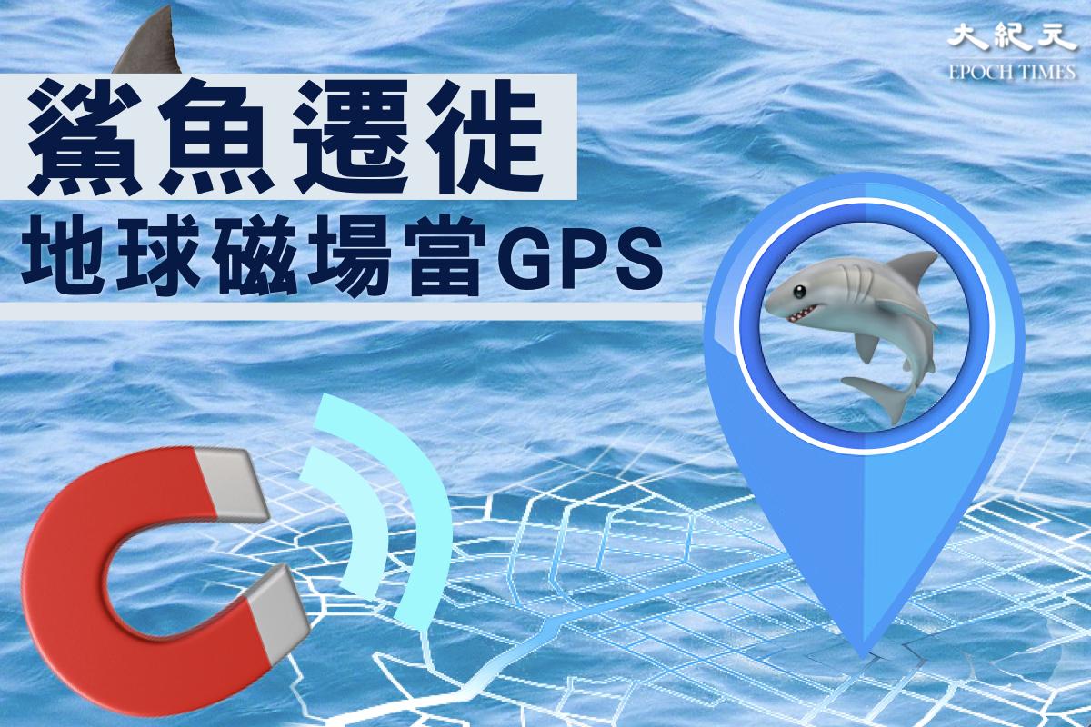 一項新研究發現,鯊魚能夠利用地球磁場來確定自己目標的方向,並記錄遷徙路線。(Pixabay 大紀元製圖)