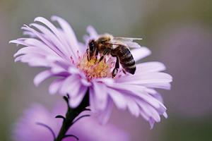 科學家訓練蜜蜂嗅出中共病毒