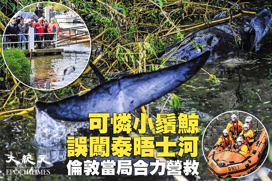 可憐小鬚鯨誤闖泰晤士河 倫敦當局合力營救(影片)