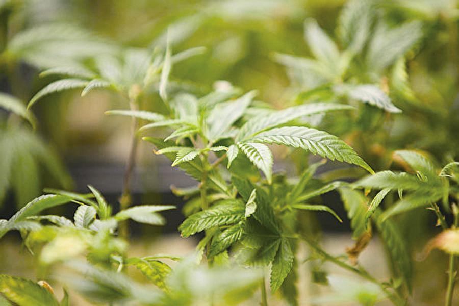 被美國忽視的中美競爭新領域——大麻