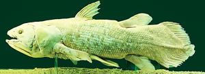 曾公認與恐龍一起滅絕  4.2億年前四腿魚還活著