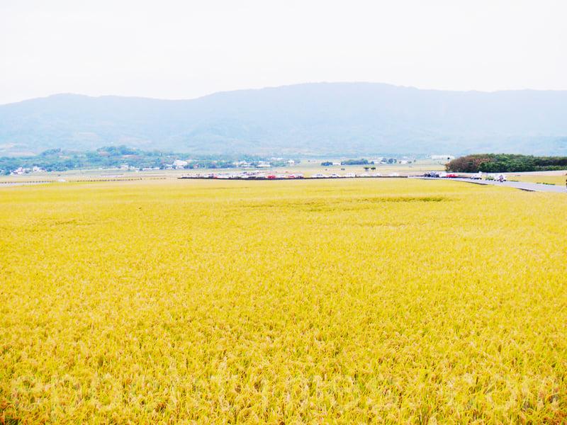 一片廣闊的稻田,秋收季節就像鋪上一層金黃地毯。(龍芳/大紀元)
