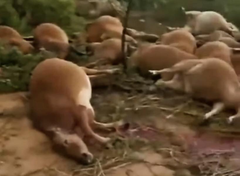 海南雷電劈死42頭牛 民眾:難道是老天警示