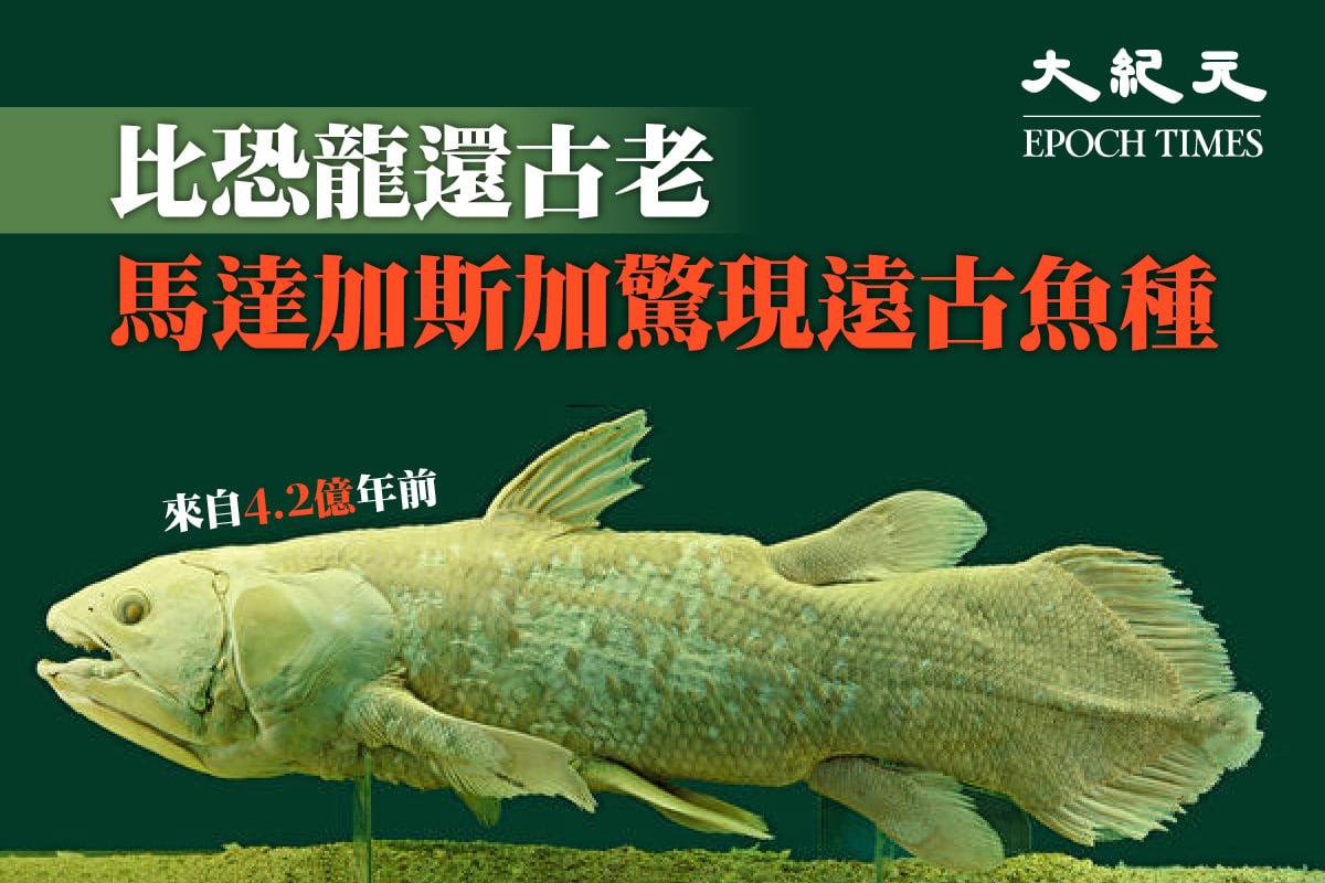來自4.2億年前的矛尾魚,也叫「四腿魚」。(公有領域,大紀元製圖)