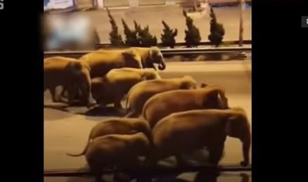 15頭大象組團一路向北 漫步雲南城區街頭