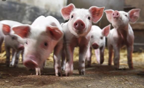 中國豬價猛跌 養豬戶苦不堪言