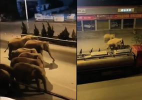 十五頭野象逼近昆明 象群進店驚嚇車行老闆