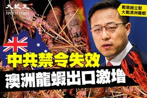 中共禁令失效 澳洲龍蝦出口激增 熱銷中國