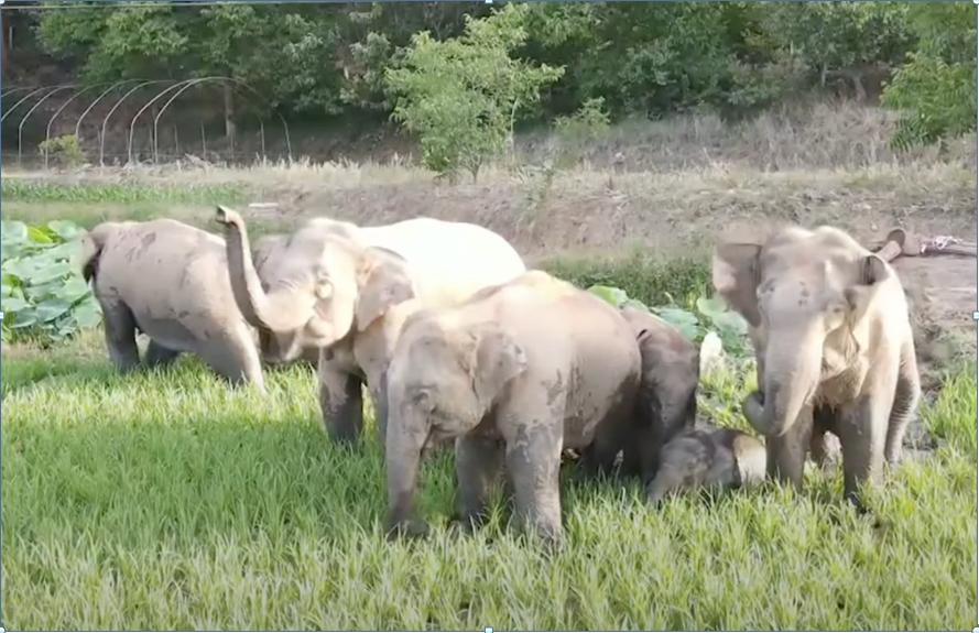 野生大象罕見北遷 已靠近中國雲南昆明市區