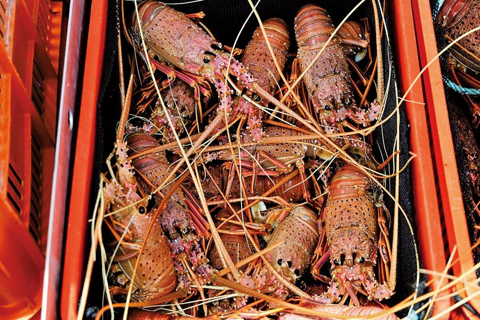 因中共貿易報復被拒之門外的澳洲龍蝦,似乎正在通過非官方的「灰色渠道」在中國走俏。(TREVOR COLLENS/AFP via Getty Images)
