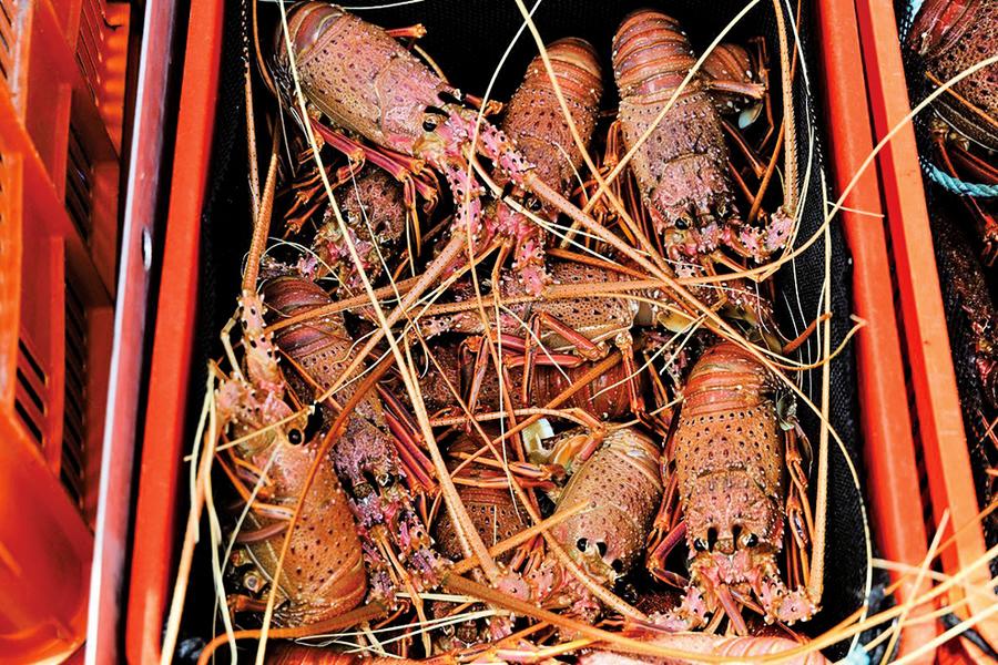 澳洲龍蝦借道香港熱銷中國