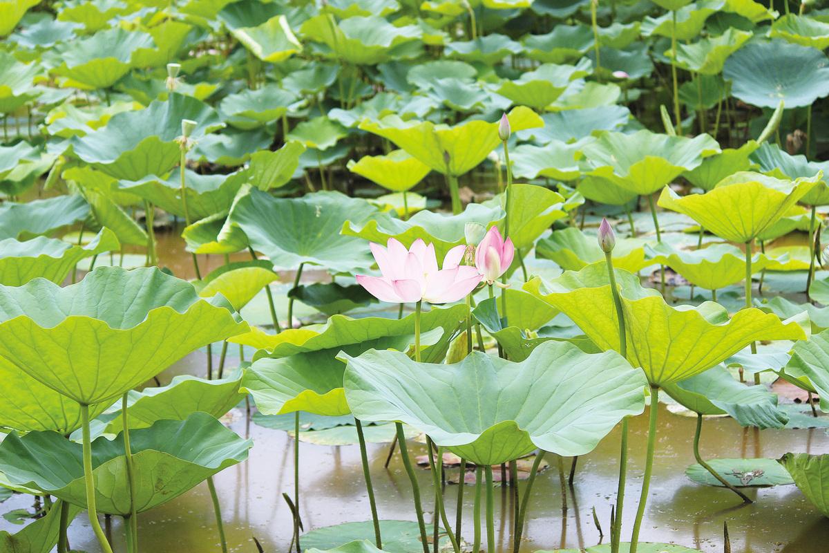 大華府擁有百年歷史的肯尼渥茲水上花園舉行荷花節,園內一派詩情畫意。(何伊/大紀元)