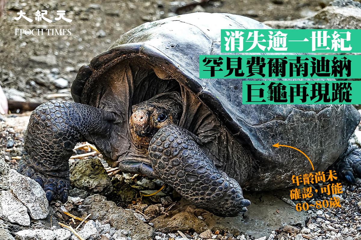 厄瓜多爾政府日前證實,2019年2月在加拉帕戈斯群島發現的一隻雌性成年巨龜,經基因檢測證實屬於費爾南迪納巨龜。(RODRIGO BUENDIA/AFP via Getty Images)
