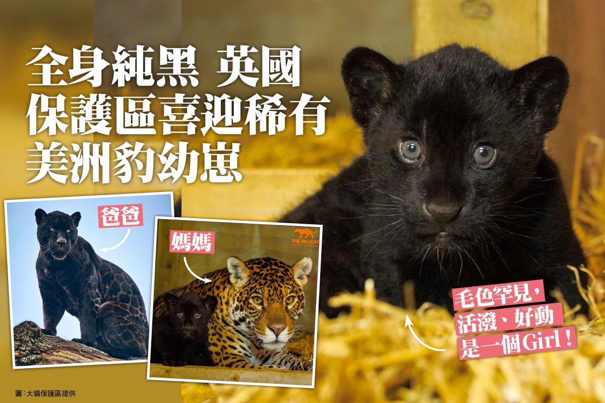 英國肯特郡的大貓保護區前不久迎來了一隻可愛的美洲豹幼崽,這對於「瀕危」的美洲豹來說算是一個巨大的好消息。(大貓保護區提供)