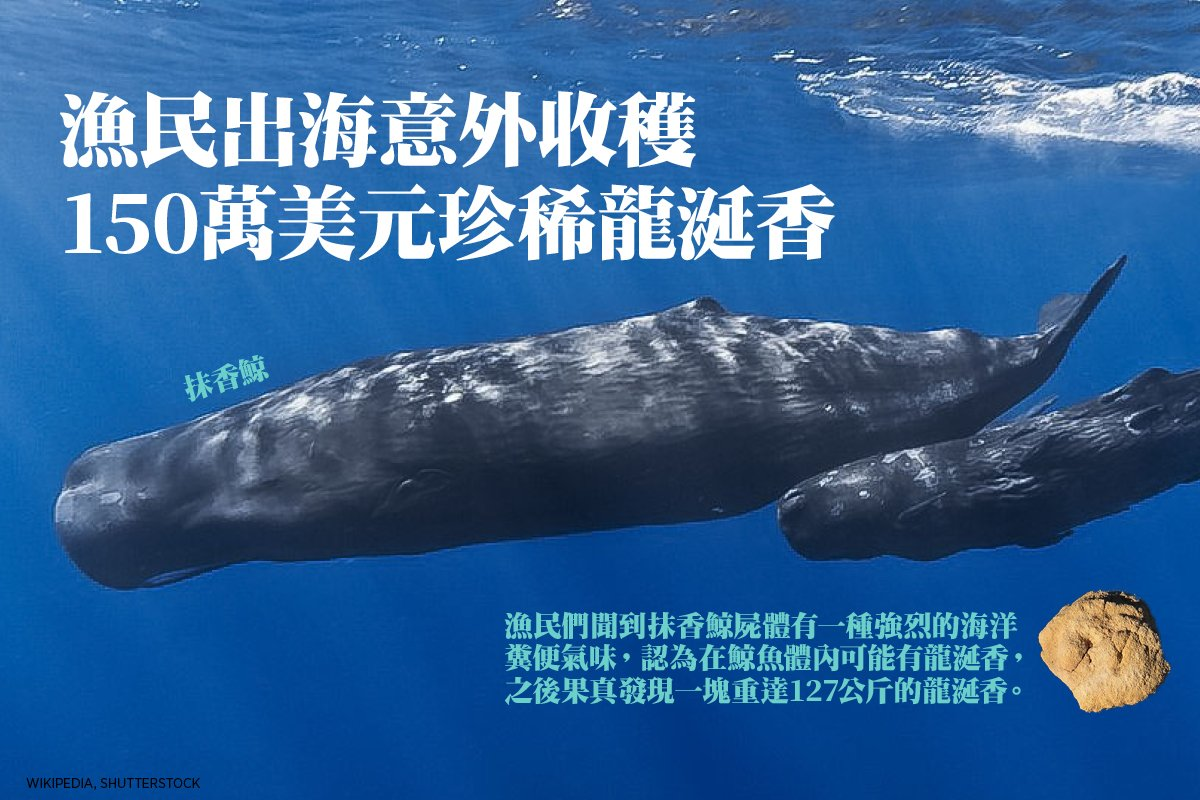 漁民們聞到抹香鯨屍體有一種強烈的海洋糞便氣味,認為在鯨魚體內可能有龍涎香,之後果真發現一塊重達127公斤的龍涎香。(Wikipedia, Shutterstock))