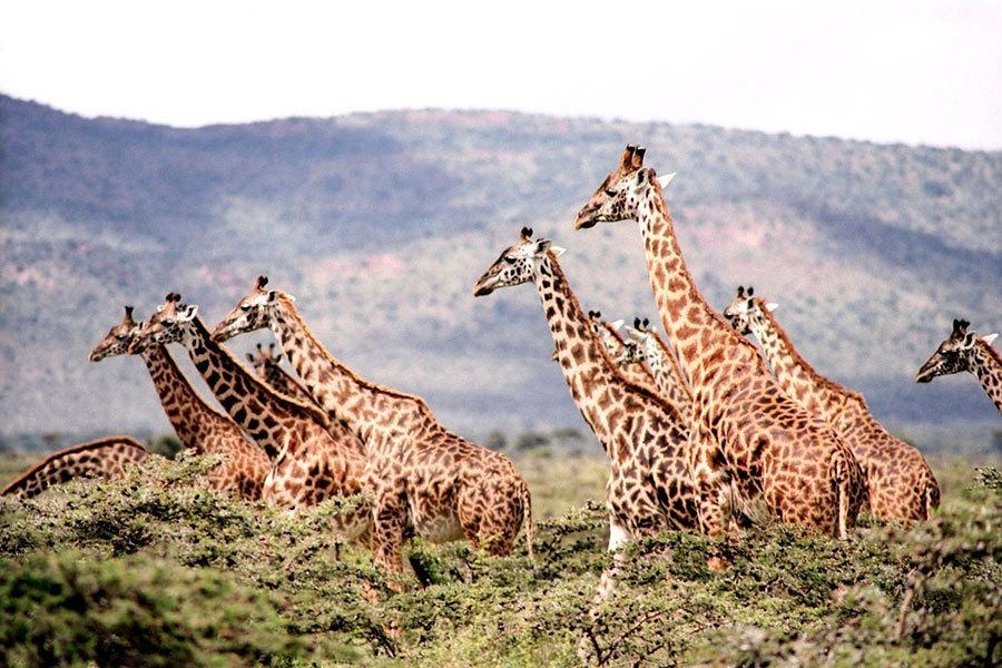 科學家驚訝:長頸鹿分四種 長頸從何而來