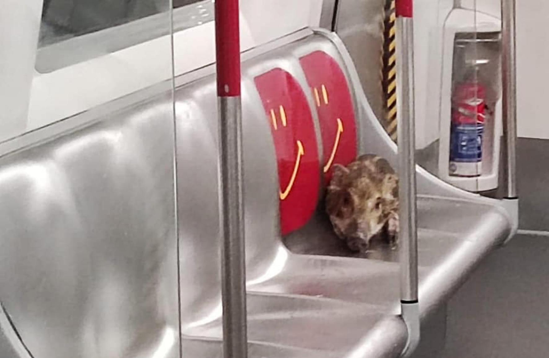 昨日(6月18日)一隻幼年野豬闖入港鐵鰂魚涌站,並登上往堅尼地城方向的列車,其間野豬曾瑟縮在關愛座。(香港野豬關注組Facebook)