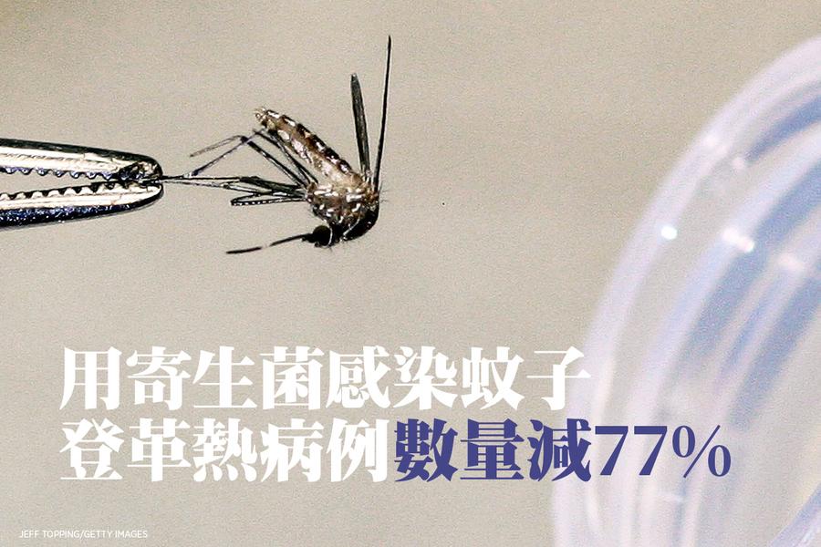 用寄生菌感染蚊子 登革熱病例數量減77%