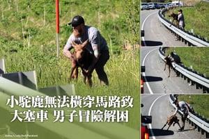 小駝鹿無法橫穿馬路致大塞車 男子冒險解困