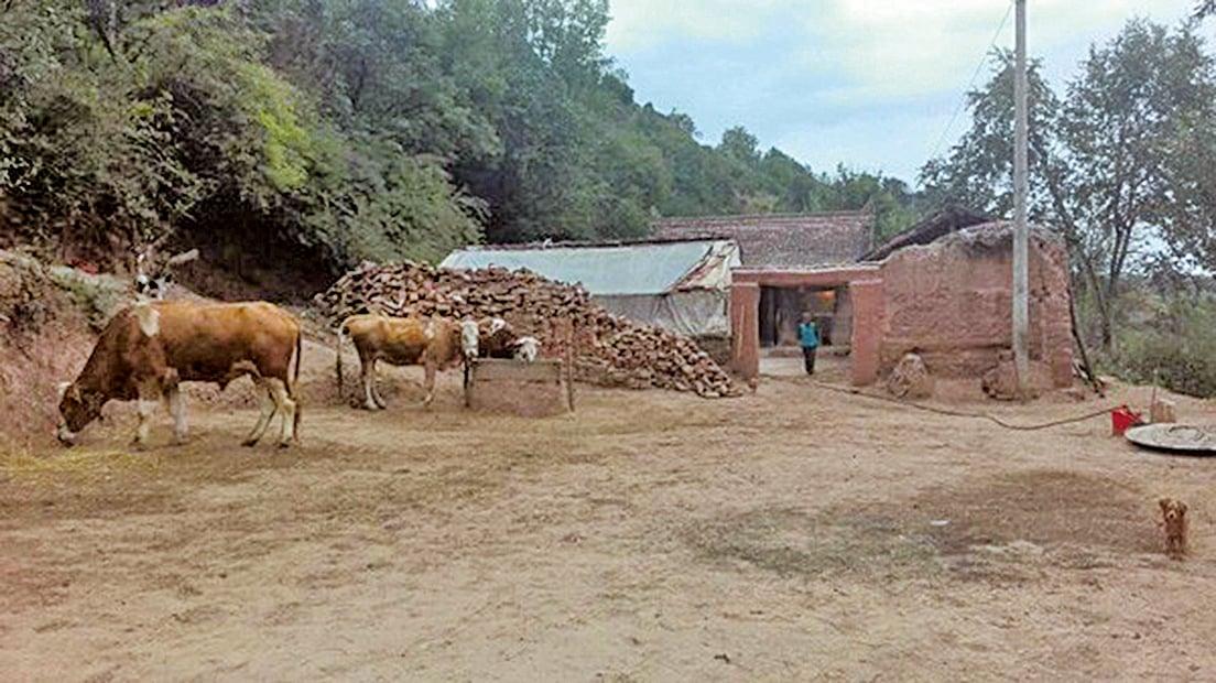 甘肅康樂縣一家6口服毒身亡。據報,該家庭異常貧窮和敗破,3頭牛成為這8口之家最值錢的家當,也因此成為官方取消其低保的理由。(網絡圖片)