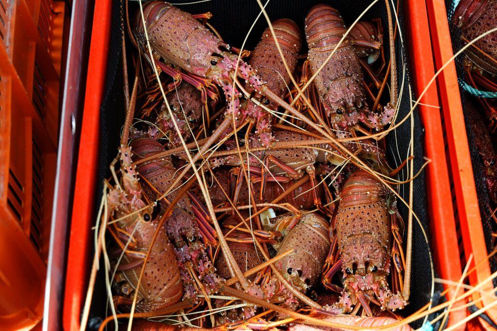 外媒指出,澳洲龍蝦在北京當局封殺後,正透過香港流入中國,半年內貿易量已增長了逾20倍。(TREVOR COLLENS/AFP via Getty Images)