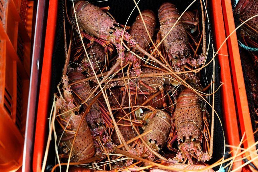 香港入口澳洲龍蝦急升20倍 終端消費可能在大陸