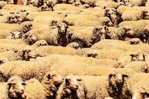 澳洲羊肉對華出口量 接近歷史高點