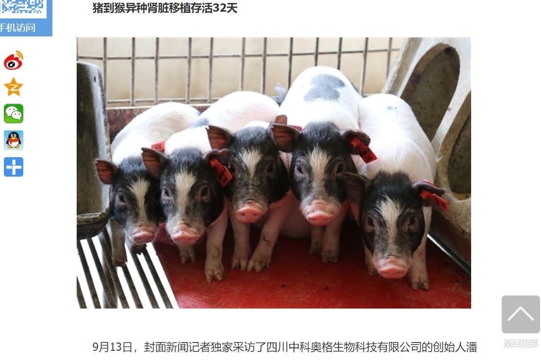 中國四川中科奧格生物公司(Clonorgan)的基因改造異種器官移植用豬,已經進入量產試驗階段,該公司稱希望打造器官供體工廠。(網絡截圖,四川在線)