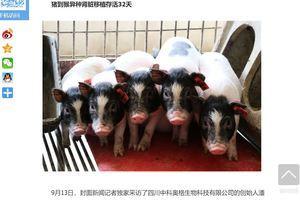 中共突破倫理的典型實驗:基因改造豬用於器官移植