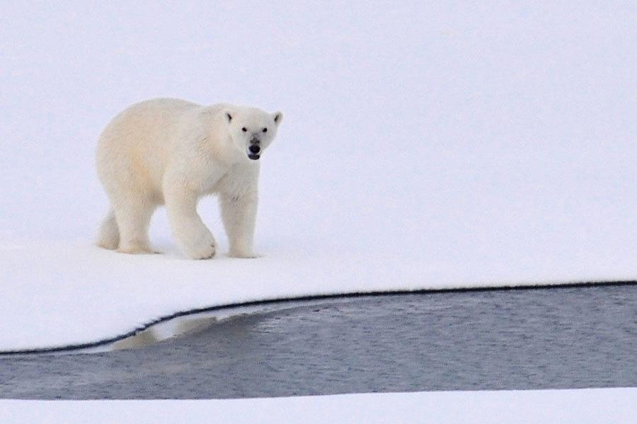 五名俄羅斯科學家被北極熊圍困近兩周