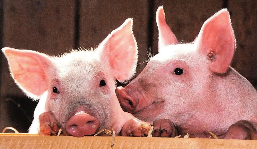 大陸生豬價格連跌五個月