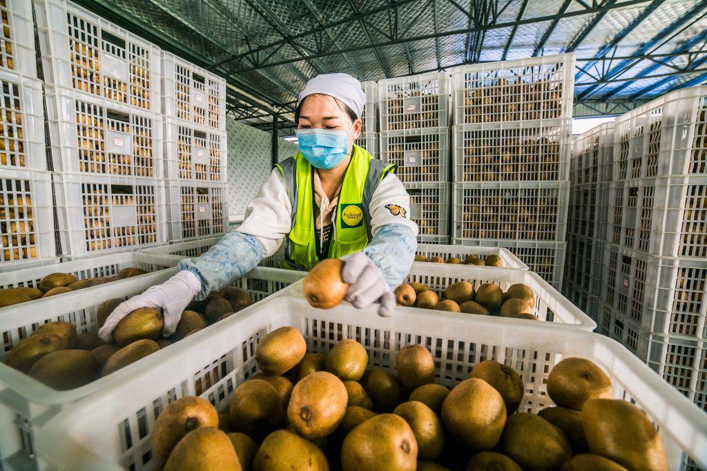 但2010年代,一名奇異果種植者將金奇異果品種走私到了中國,據Zespri International估計,至今未經授權的Sungold奇異果在中國的種植面積已超過5500公頃,接近於紐西蘭的8000公頃。(STR/AFP via Getty Images)