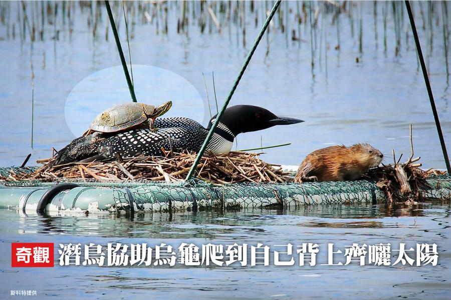 奇觀 潛鳥協助烏龜爬到自己背上齊曬太陽