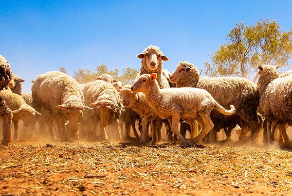 中國購入澳約九成羊毛 成最大買家