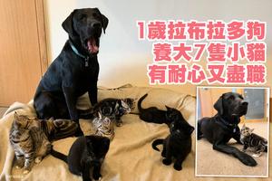 1歲拉布拉多狗養大7隻小貓 有耐心又盡職