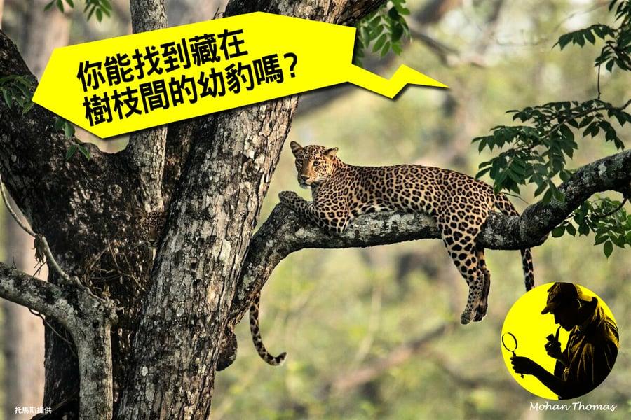 【視力測驗】你能找到藏在樹枝間的幼豹嗎?(附答案)