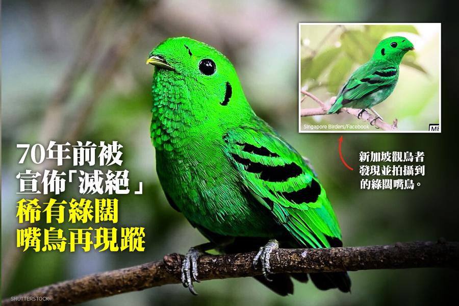 70年前被宣佈「滅絕」 稀有綠闊嘴鳥再現蹤
