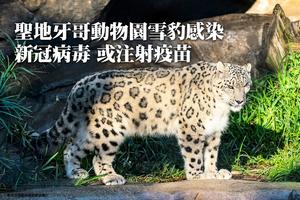 聖地牙哥動物園雪豹感染新冠病毒 或注射疫苗