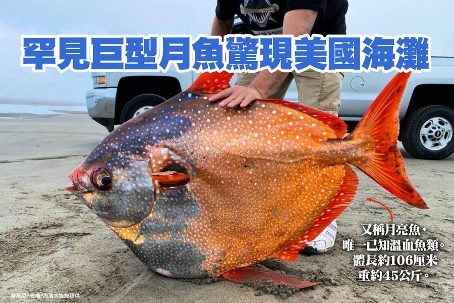 唯一已知溫血魚類 罕見月魚驚現美國海灘