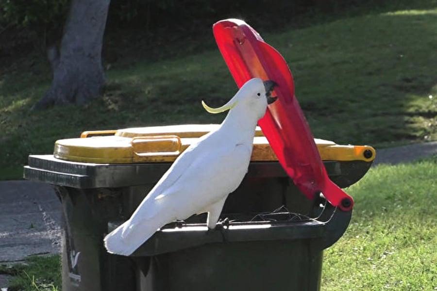 澳洲鸚鵡會開垃圾桶覓食 還教同伴