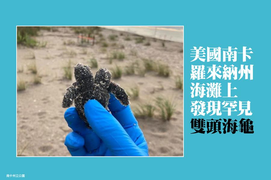 美國南卡羅來納州海灘上發現罕見雙頭海龜