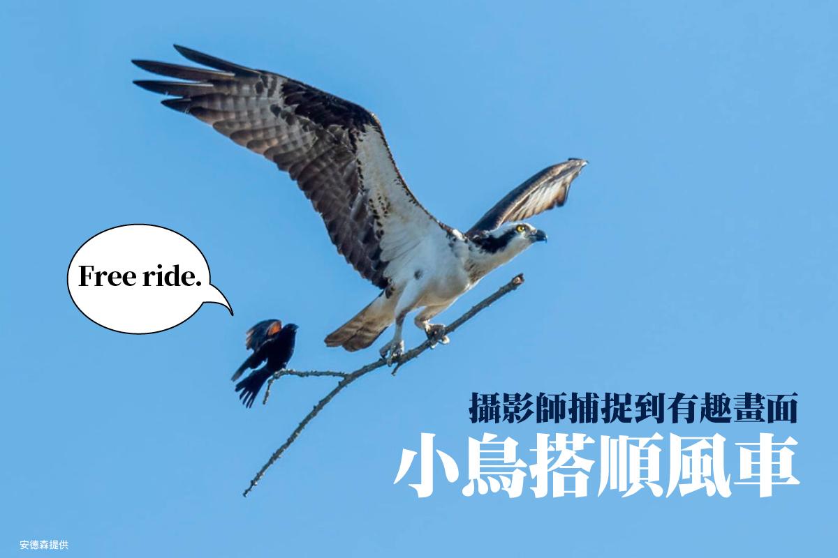 美國攝影師安德森日前無意間抓拍到一個罕見且十分逗趣的畫面,魚鷹抓著一根大樹枝在飛,而樹枝末端竟站著一隻紅翅黑鸝,彷彿是在搭便車。(安德森提供)