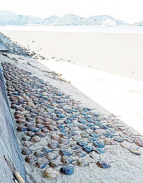 大批鱟的屍體被沖刷上岸。(AFP)