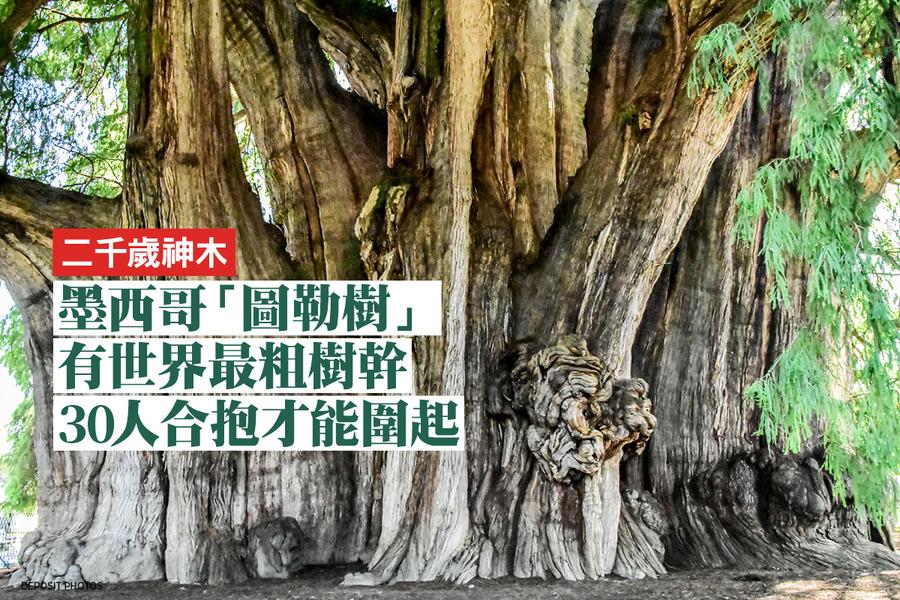 墨西哥二千歲神木有世界最粗樹幹 周長42米